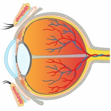 Der Aufbau des Auges